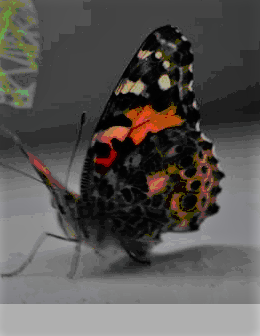Image:  Vanessa Cardui Butterfly